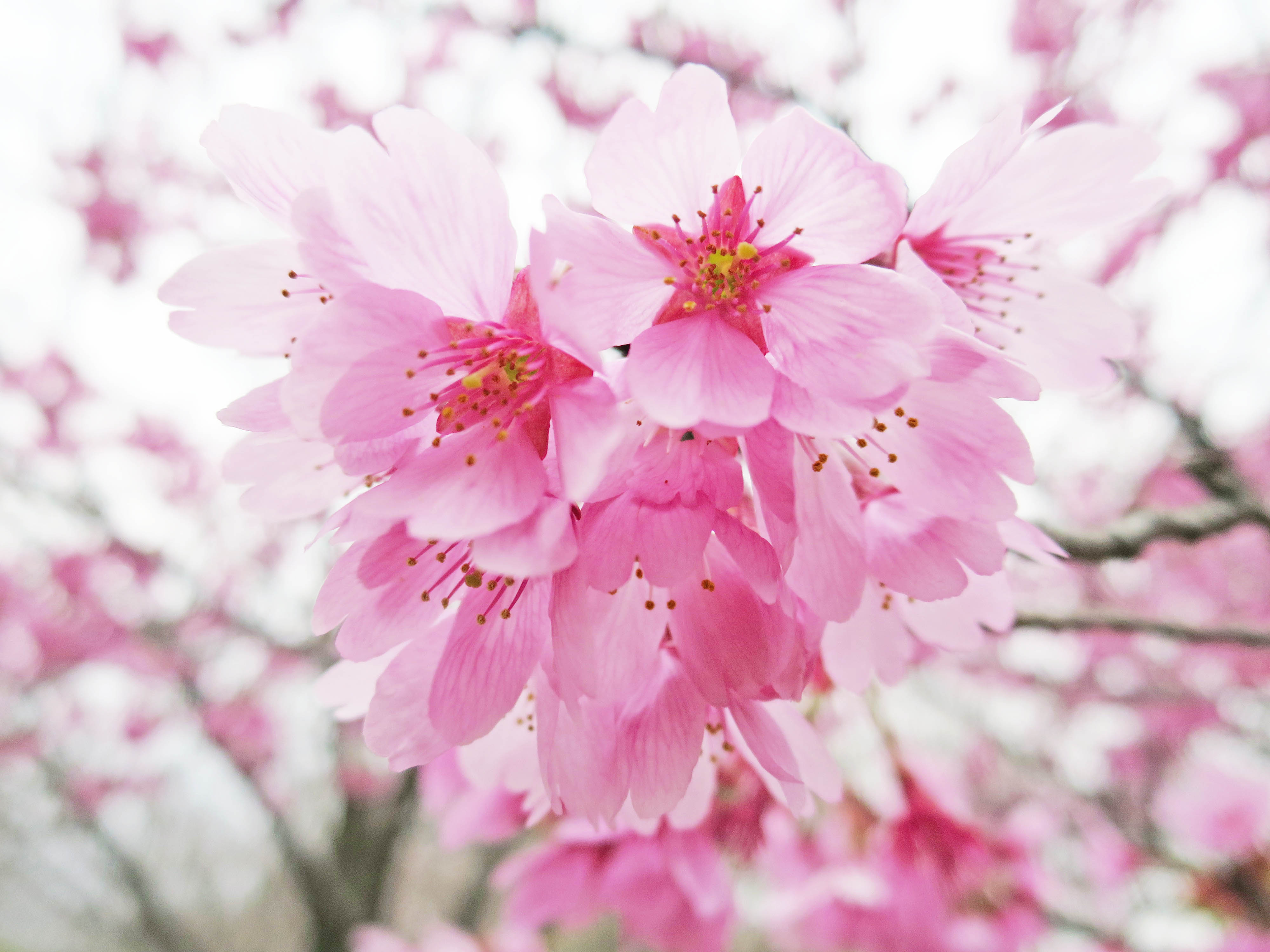 桜の花(クローズアップ)
