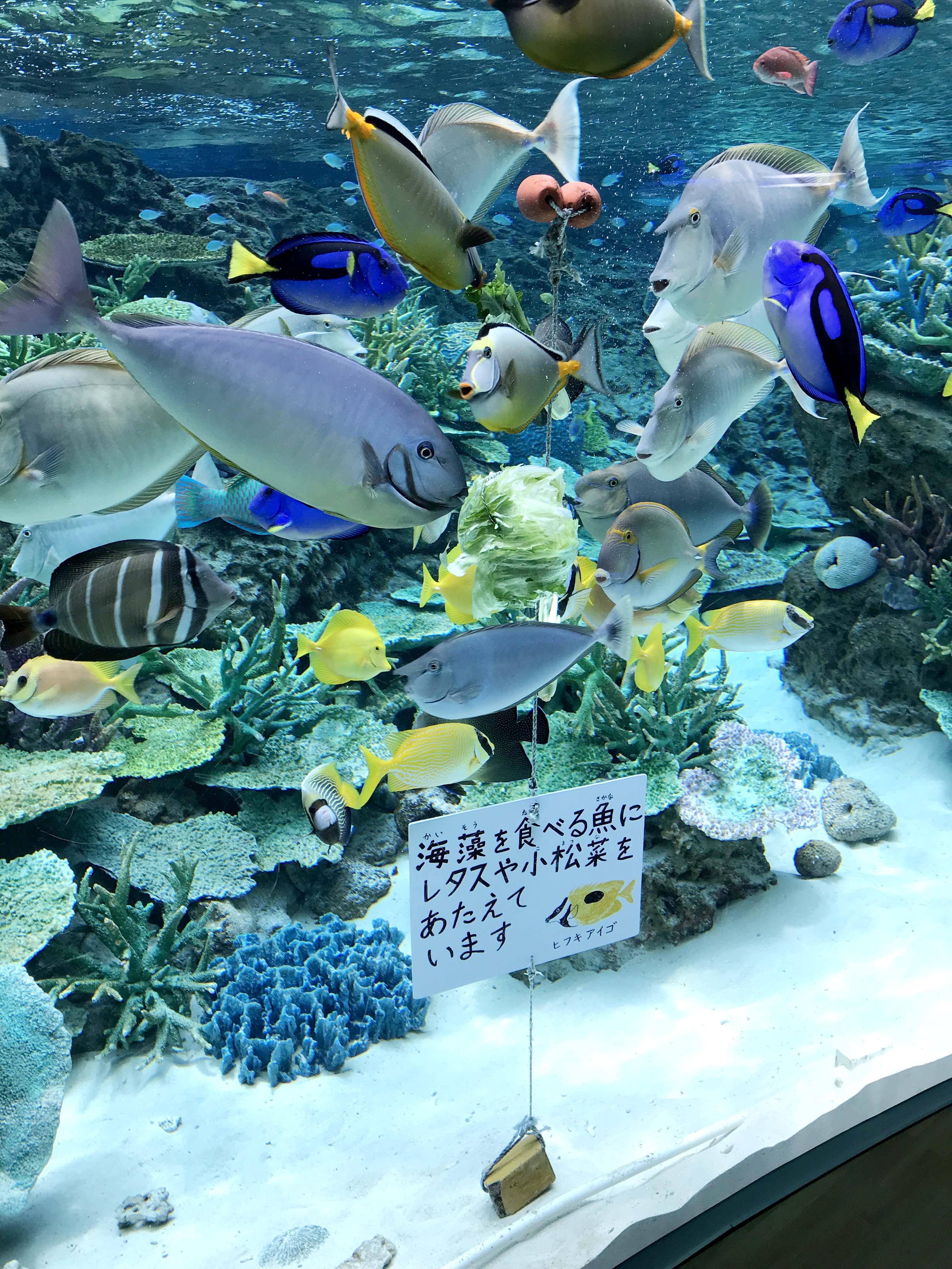 海藻を食べる魚にレタスや小松菜を与えています
