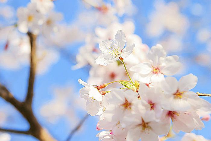 桜の咲く季節です