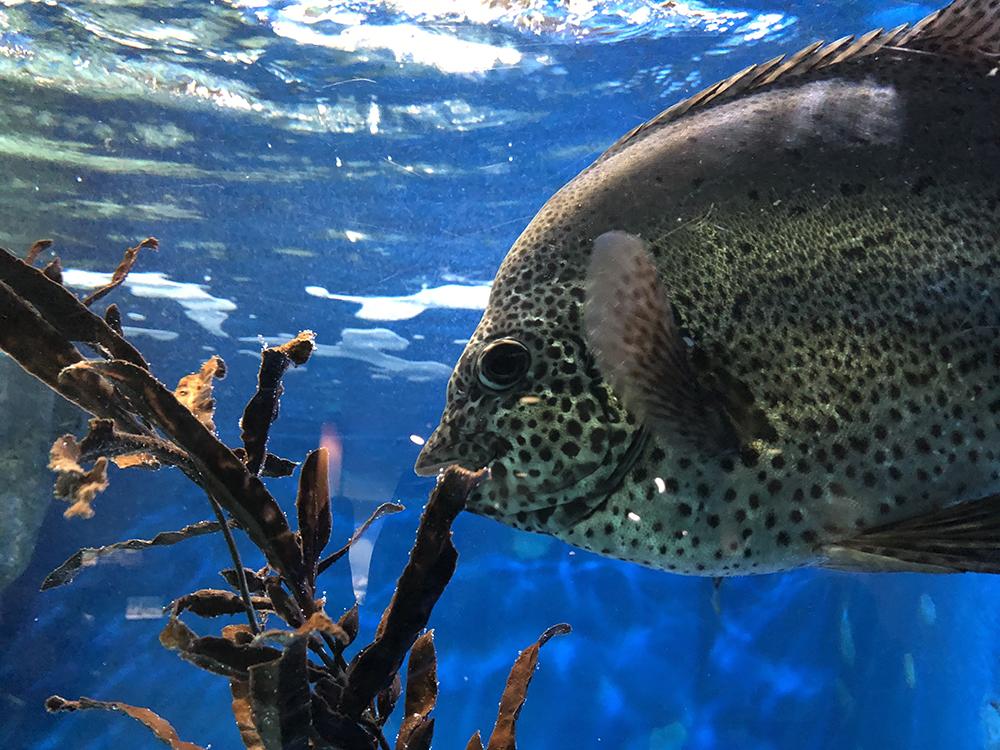 スナップショット3:海藻を食べる魚