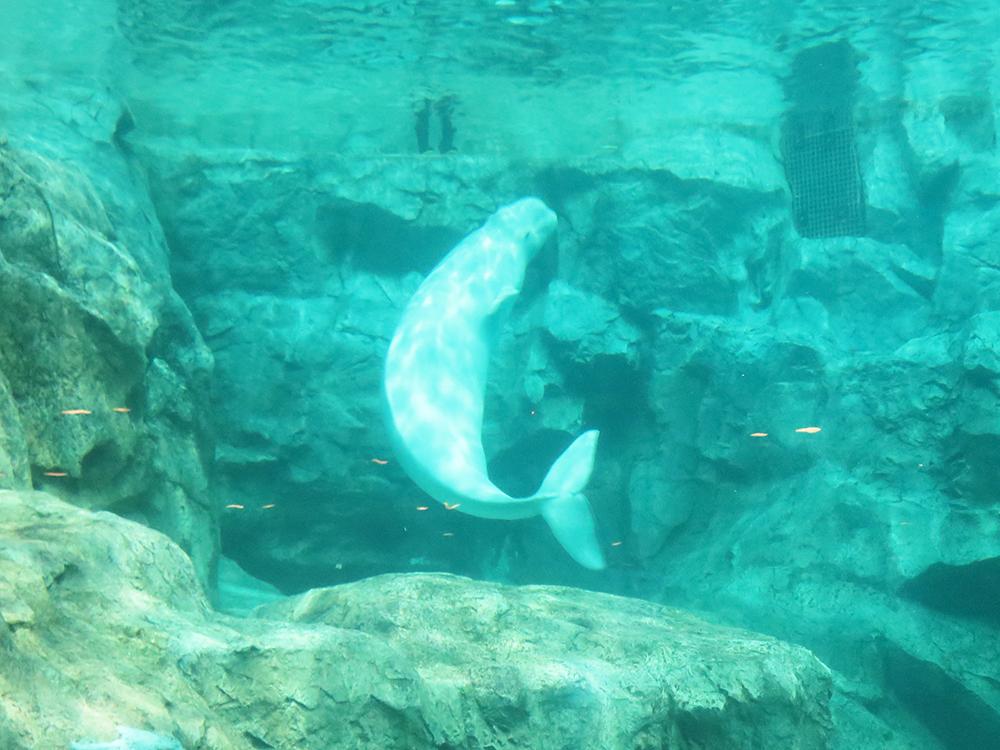 水中を泳ぐベルーガ