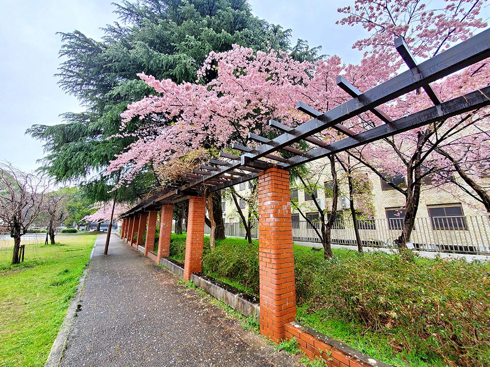 資料館の庭に咲く桜