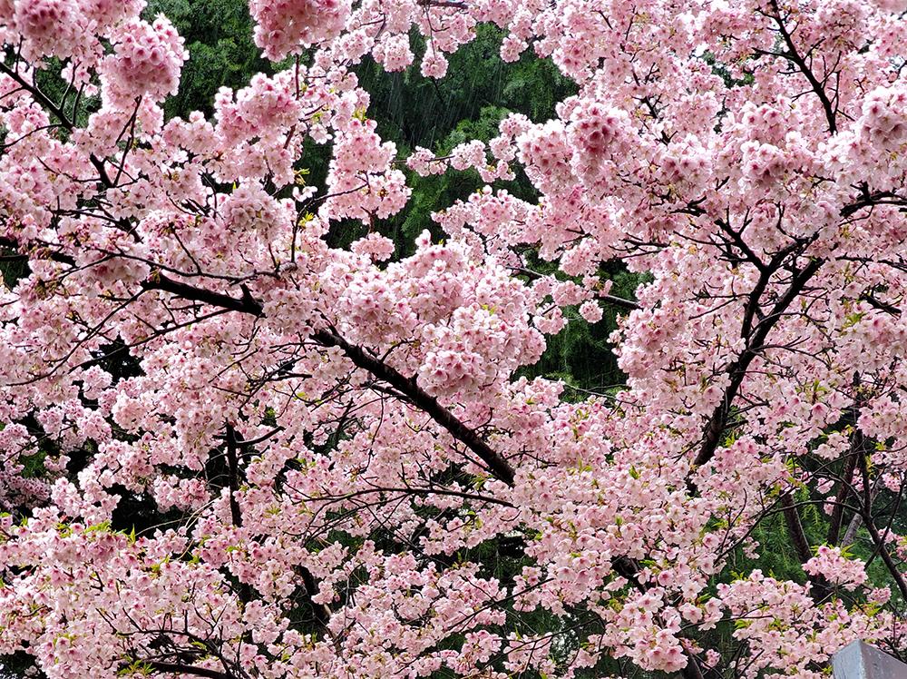 桜の花で一足先に春を感じました
