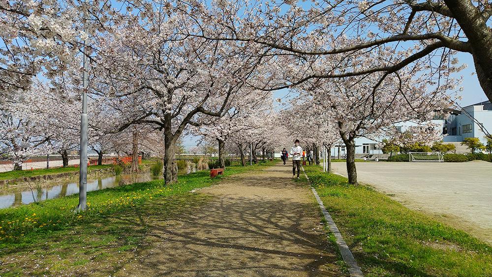 桜咲く並木道
