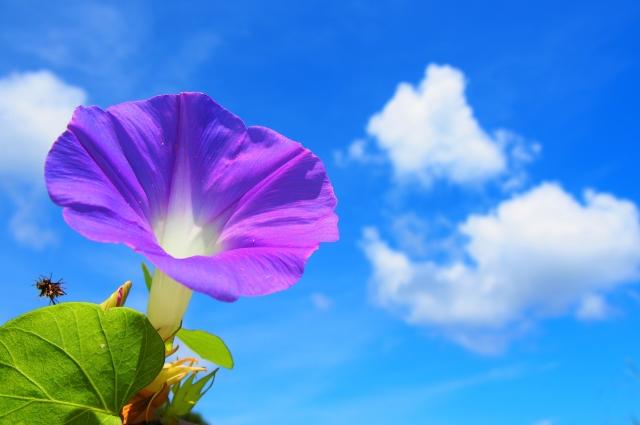 真夏のアサガオと爽やかな青空